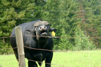 Color Photograph by Debbi Chan titled: anger  from a bovine, 2010