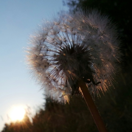 another view of sunlit dandelion