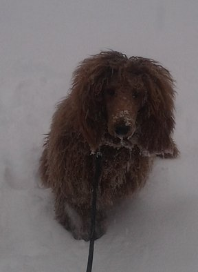 Artist: Debbi Chan - Title: closeup of Charlie with snow  - Medium: Color Photograph - Year: 2012