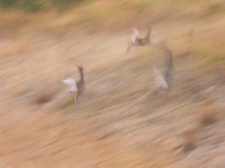 Artist: Debbi Chan - Title: deer flight - Medium: Color Photograph - Year: 2011