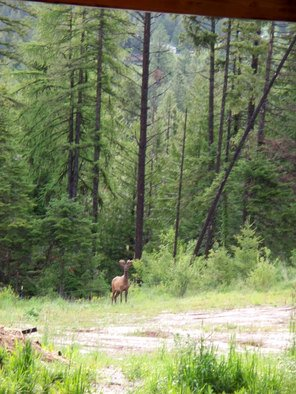 Color Photograph by Debbi Chan titled: elk  on my property, 2010