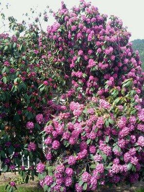 Artist: Debbi Chan - Title: fragrant purple - Medium: Color Photograph - Year: 2011