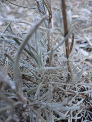 Artist: Debbi Chan - Title: frost takes my lavender - Medium: Color Photograph - Year: 2011