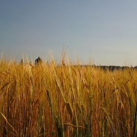 Debbi Chan: 'gold crop stands', 2012 Color Photograph, Landscape. Artist Description:        photos from Idaho.                 ...