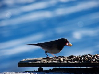 Artist: Debbi Chan - Title: hungry junco - Medium: Color Photograph - Year: 2012