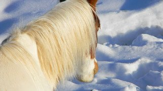 Debbi Chan Artwork looking at the snow, 2010 Color Photograph, Equine