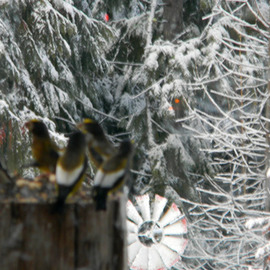 Debbi Chan: 'my grosbeak have returned again', 2010 Color Photograph, Landscape. Artist Description:   photos from Idaho. ...