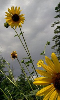 Artist: Debbi Chan - Title: my sunflower field - Medium: Color Photograph - Year: 2011