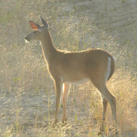 Debbi Chan Artwork n  gentle light of morning a deer, 2011 Color Photograph, Farm