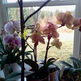 orchids and their light