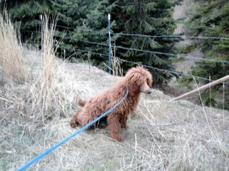Artist: Debbi Chan - Title: poodle peeing - Medium: Color Photograph - Year: 2011