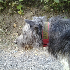 Debbi Chan Artwork portrait of a wolfhound, 2012 Color Photograph, Dogs