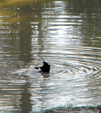 Artist: Debbi Chan - Title: sister duck takes a dive - Medium: Color Photograph - Year: 2011