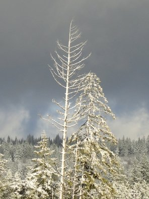 Artist: Debbi Chan - Title: snow covered tree against dark sky - Medium: Color Photograph - Year: 2012