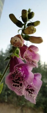 Artist: Debbi Chan - Title: sprig of foxgloves - Medium: Color Photograph - Year: 2011
