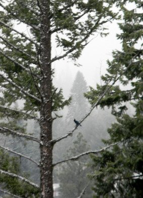 Artist: Debbi Chan - Title: stellar jay  in distant tree - Medium: Color Photograph - Year: 2011