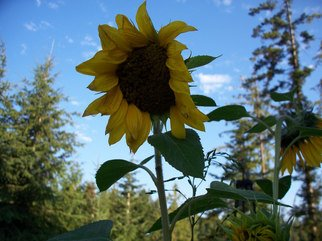 Color Photograph by Debbi Chan titled: sunflower face, 2010