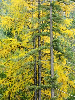 Artist: Debbi Chan - Title: tamarack showing autumn  color - Medium: Color Photograph - Year: 2010