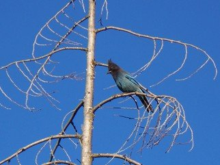 Color Photograph by Debbi Chan titled: the stellar jay, created in 2010