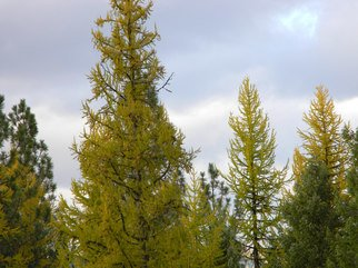 Artist: Debbi Chan - Title: three tamarack tree with color - Medium: Color Photograph - Year: 2010
