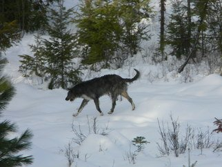 Debbi Chan: 'wolfhound doing what he does best', 2012 Color Photograph, Animals. Artist Description:      Photos from Idaho.     ...