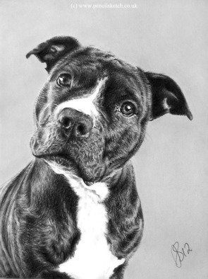 Pencil Drawing by Anna Shipstone titled: Staffie Portrait, created in 2013