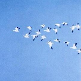 Snowgeese Going South By Sue Jacobsen