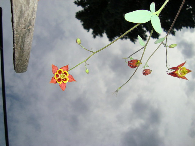 Donna Lamothe  'Columbine Skywards', created in 2009, Original Photography Other.