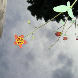 Donna Lamothe Artwork Columbine Skywards, 2009 Other Photography, Floral
