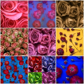 Tamarra Tamarra: 'rose collage', 2018 Color Photograph, Floral. Artist Description: ROSE, FLORAL, FLOWERS, RED, NATURE, COLLAGE, YELLOW, RED ROSES, PINK, PINK ROSE, BOTANICAL, BOTANY, BLUE ORANGE, COLOR FLOWER PHOTOGRAPHY, PHOTOGRAPHY, COLORFUL, DECORATIVE, MAGENTA, TURQUOISE, macro photography, petals, gardenrose, rosebuds, sepia, pink roses, green, purple, blue, ...