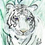 royal white bengal tiger By Terri Cabral