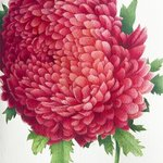chrysanthemum By Tatiana Azarchik