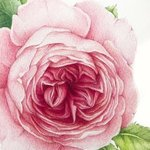 david austin rose By Tatiana Azarchik