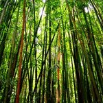 Into The Bamboo Forest By Tiger Lily Jones