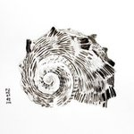 seashell in ink art By Hector Sandoval
