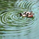 Duck Journey By Usha Shantharam