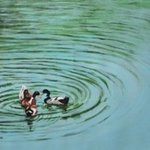 Duck Meet By Usha Shantharam