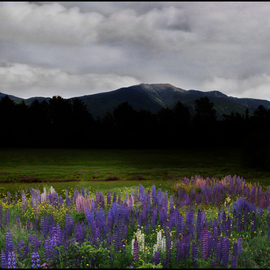 Wayne King: 'Dusk on the Franconia Range Lupine Field', 2012 Color Photograph, Landscape. Artist Description:  Dusk on the Franconia Range in the White Mountains of New HampshireLupine field in Sugar Hill, NH with the Franconia Ridge in the background. ...