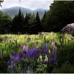 Lupine in the Shadow of Cannon Mountain By Wayne King