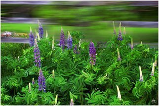 Wayne King Artwork Wind in the Lupines, 2012 Color Photograph, Landscape