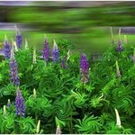 Wind in the Lupines By Wayne King
