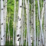 aspen tree trunks By Steve Tohari