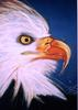 Barry Boobis - American Eagle painting artwork, Birds